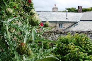 upcott-farm-artichokes