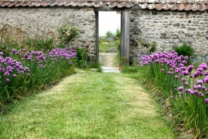 upcott-farm-chives