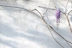 wisteria by eau de nil