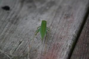 katydid back
