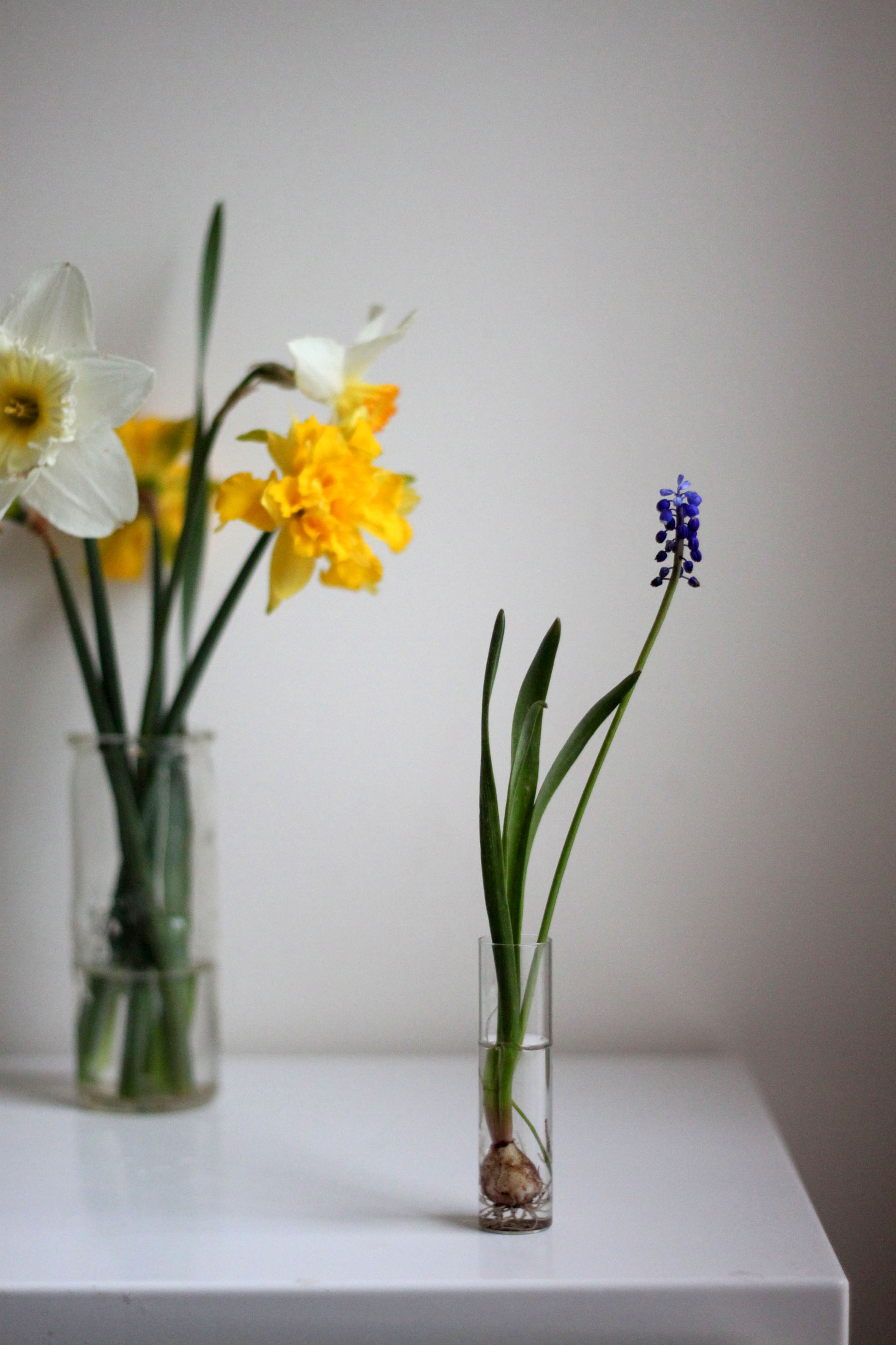 grape hyacinth and daffodils