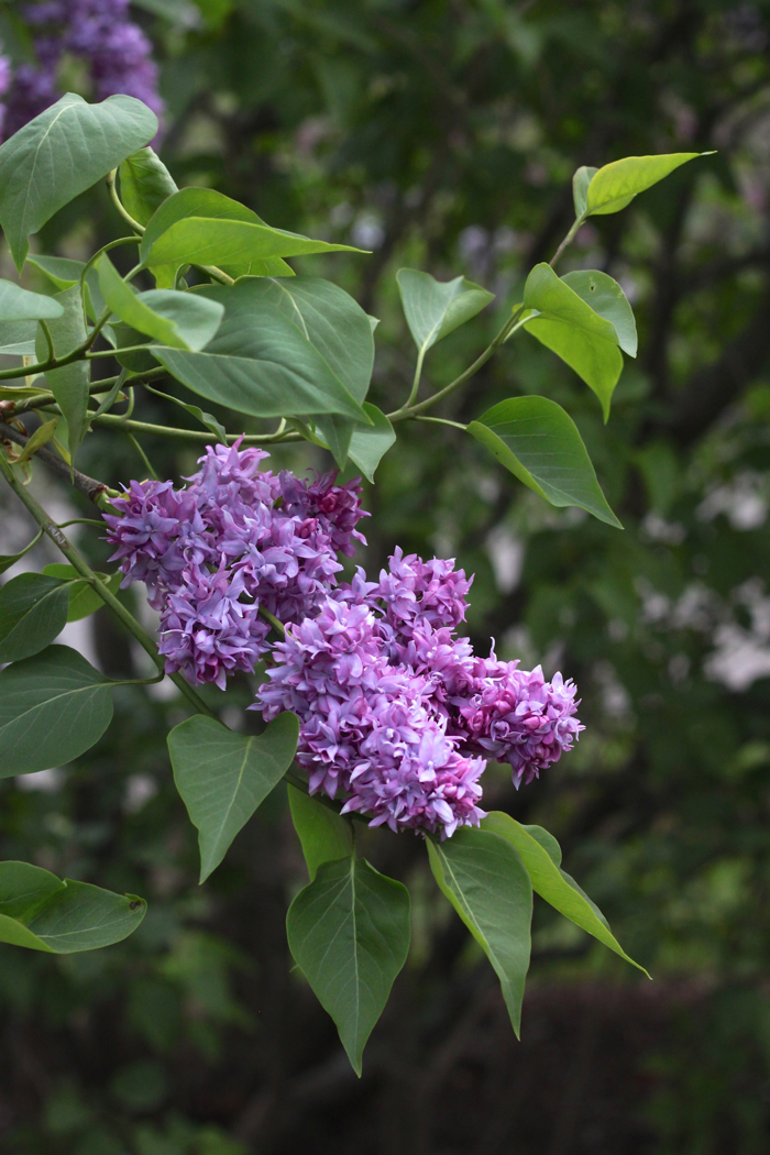 Jean Bart Lilac  by Justine Hand for Gardenista