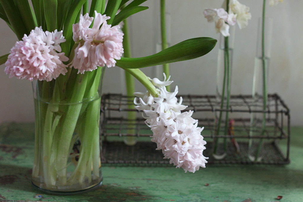 Longest Lastest Spring Blooms, Hyacinths, Day 4