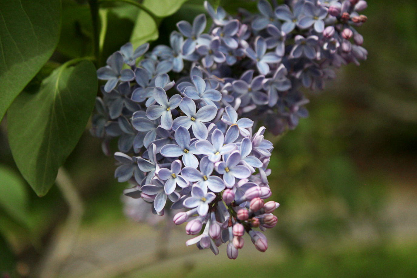 President Lincoln Lilac by Justine Hand for Gardenista