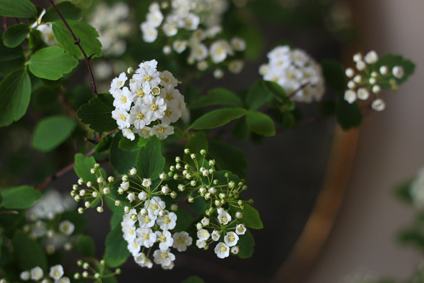 bridal wreath bloom