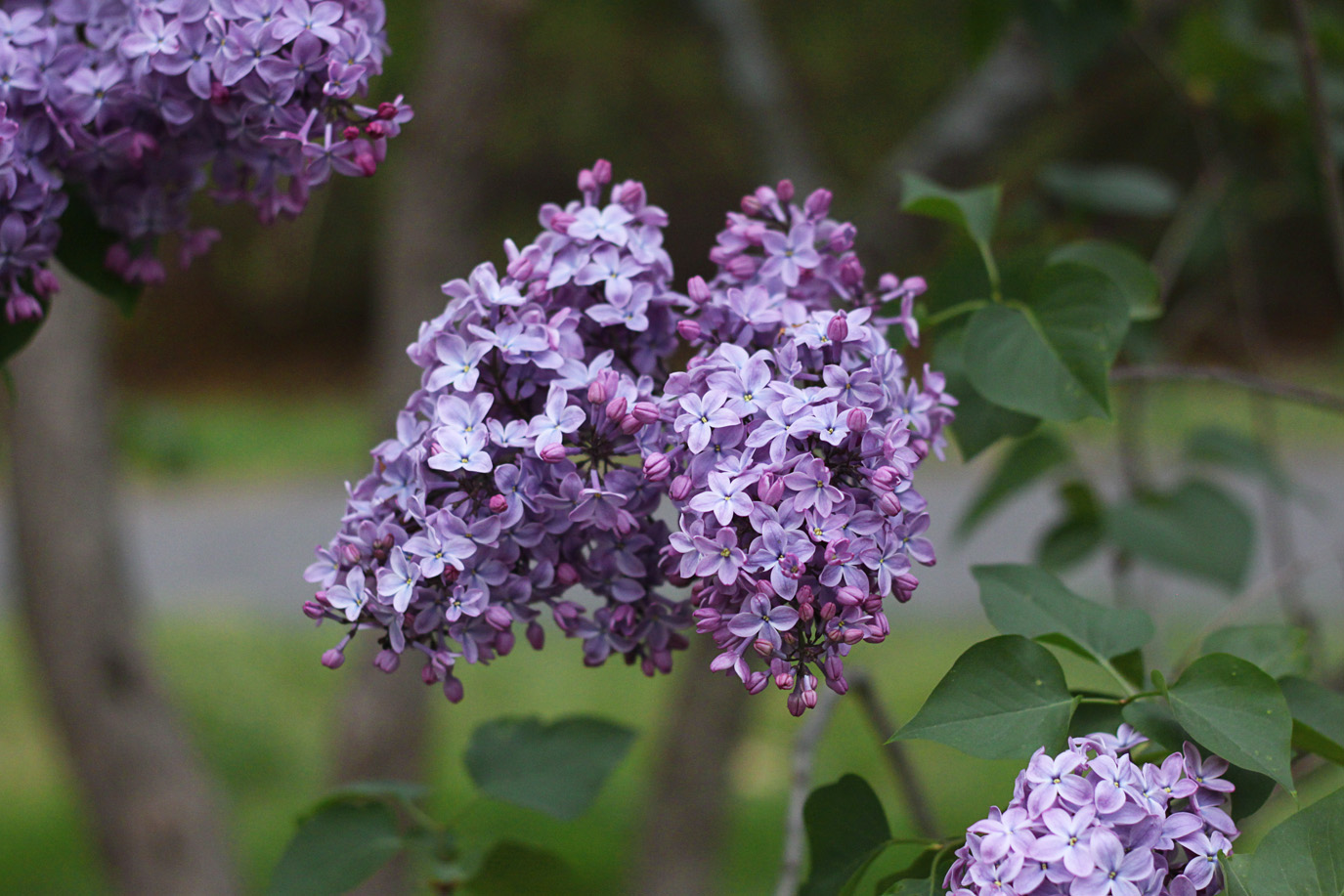 commom lilac bloom by Justine Hand for Gardenista