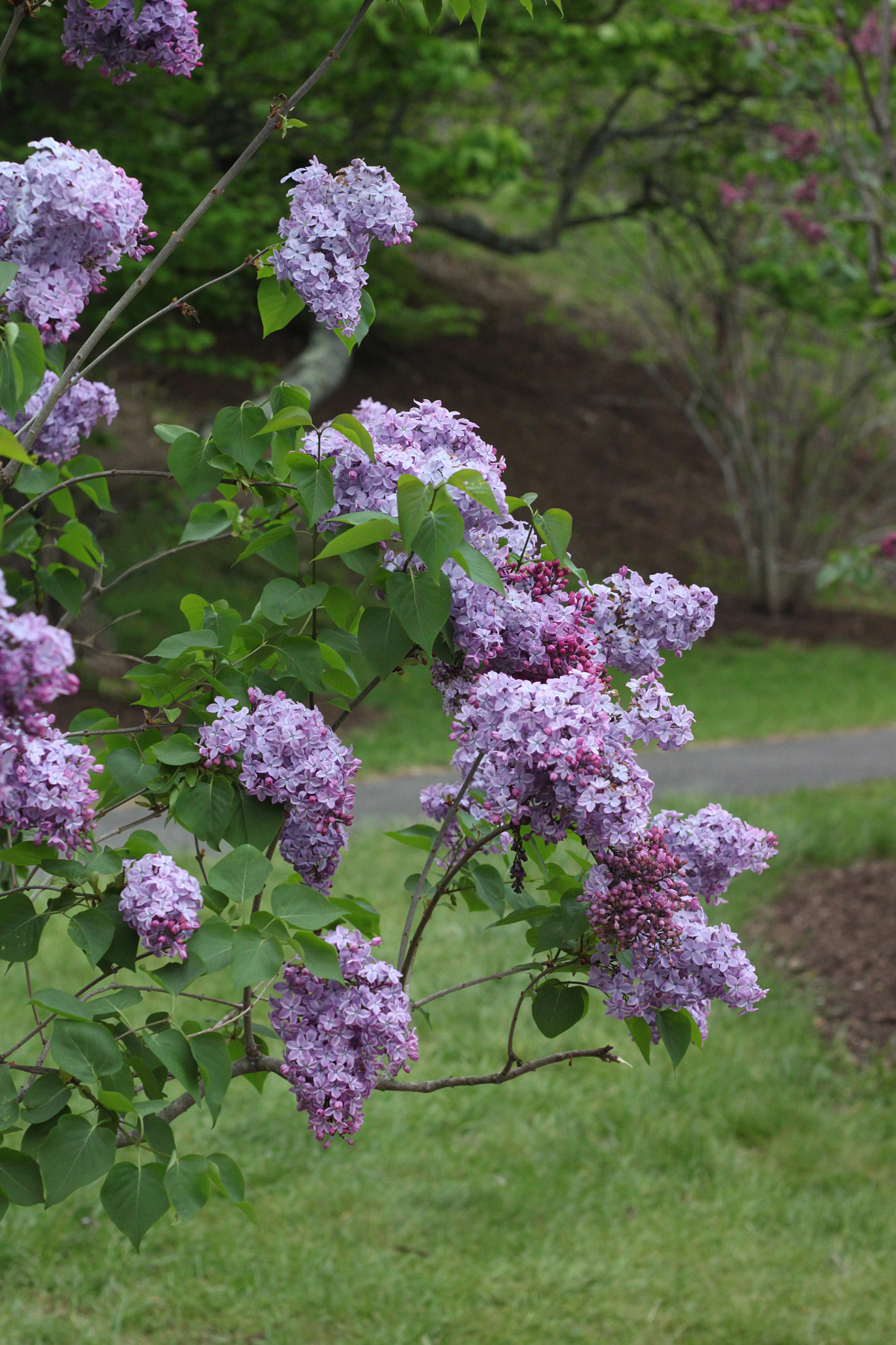 common lilac by Justine Hand for Gardenista