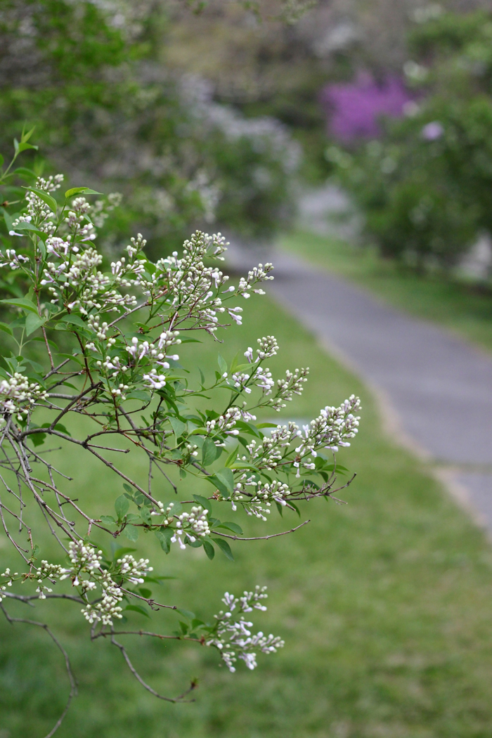 white Lilac by Justine Hand for Gardenista