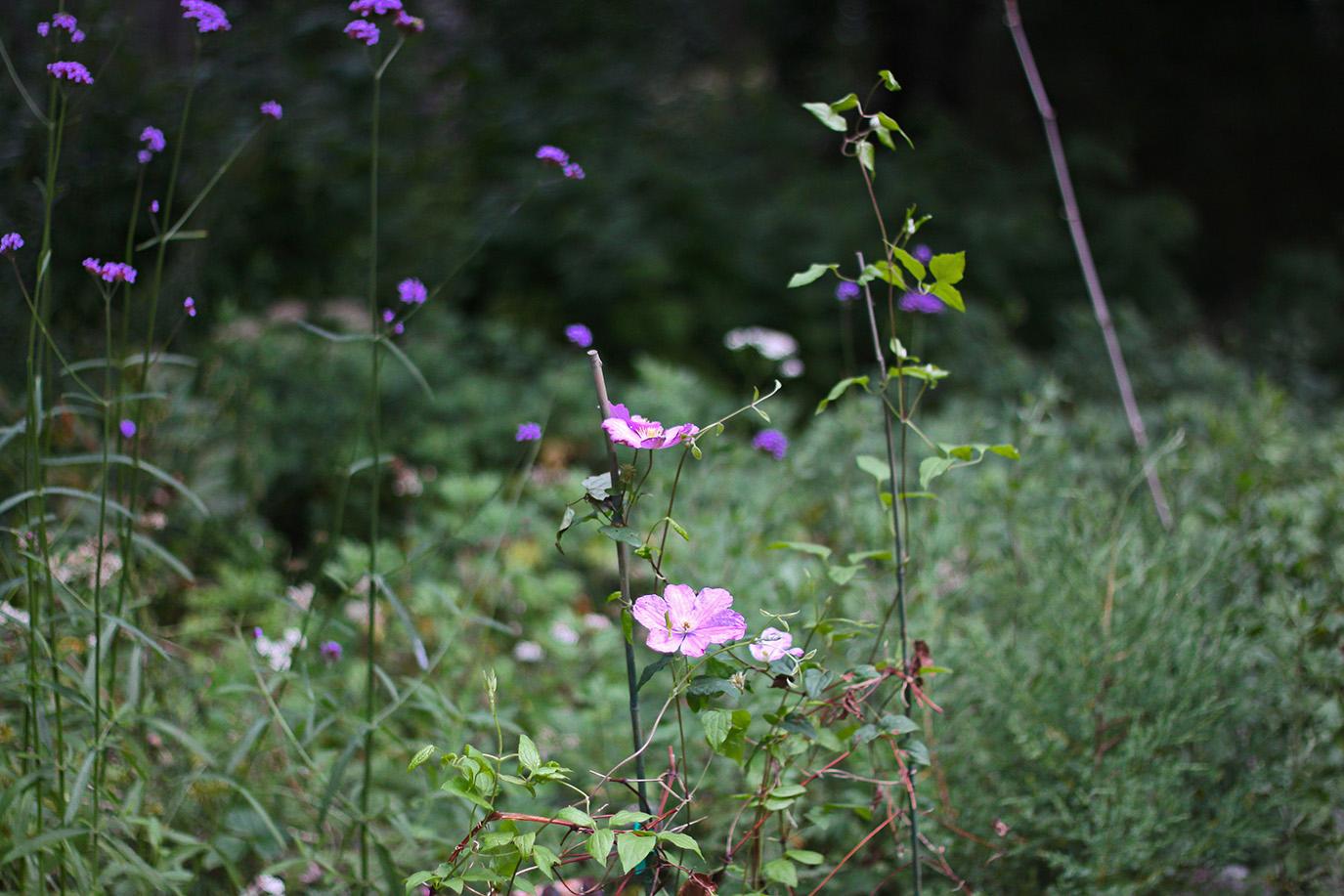 Marnie's Garden by Justine Hand, Clemetis