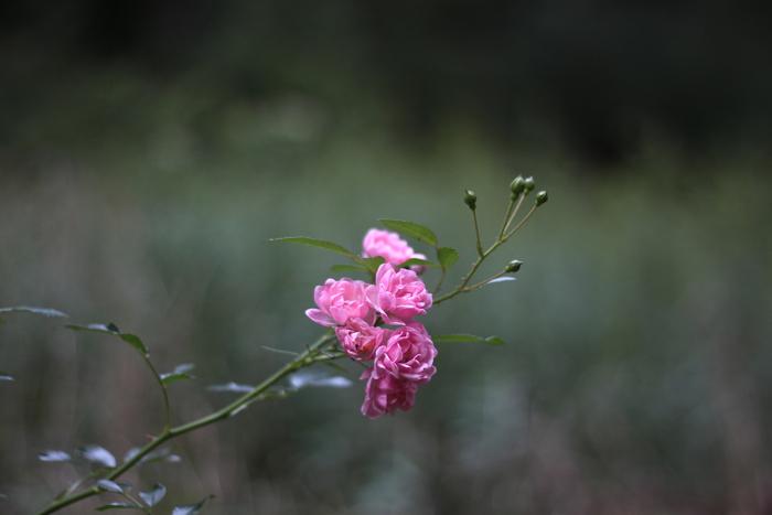 Marnie's garden, Dorothy Perkins rose