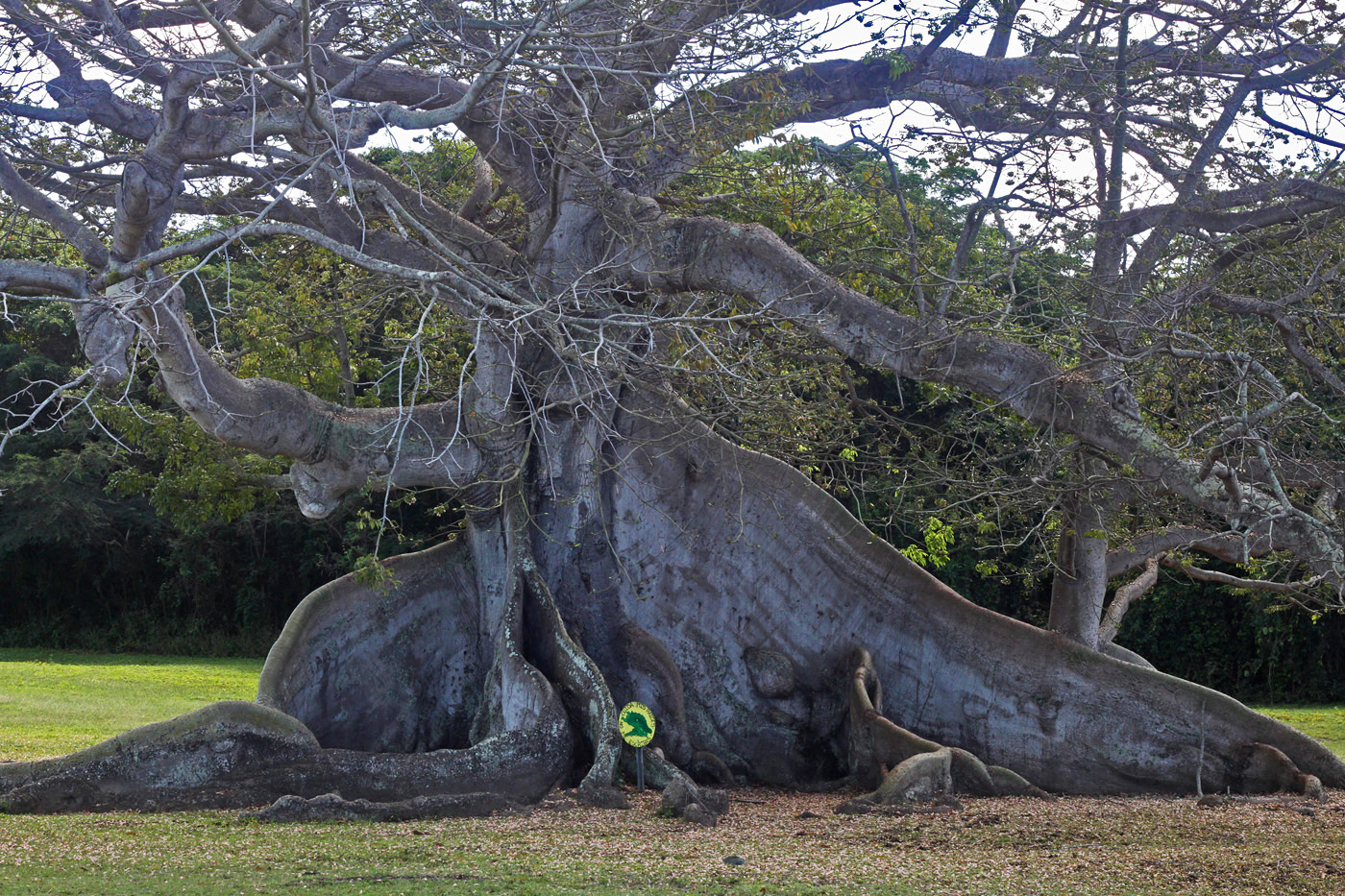 375 yr old ceiba tree_edited-2