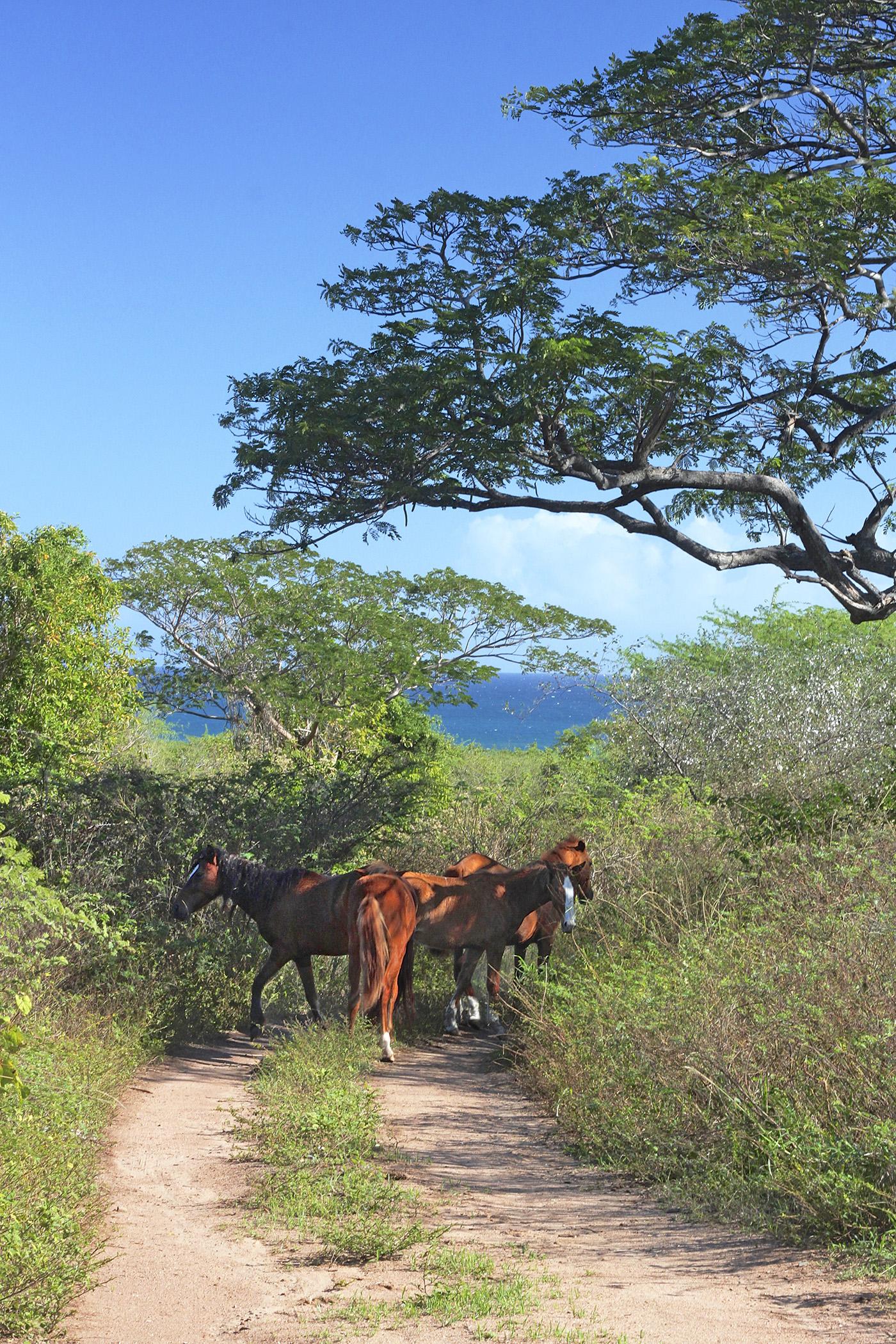 Vieques wild horses