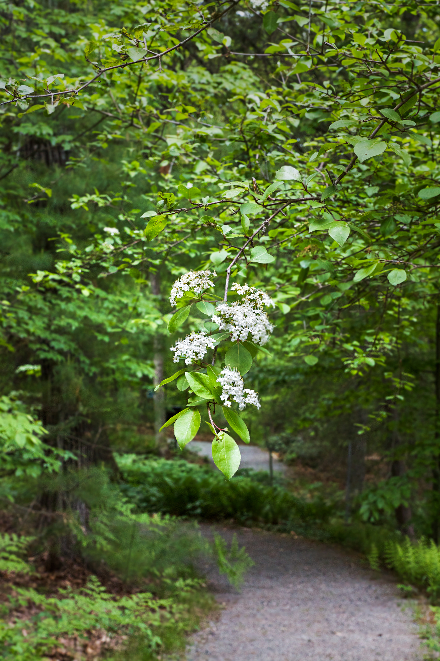 Garden in the Woods, Viburnum lentago,  Nannyberry, by Justine Hand for Gardenista