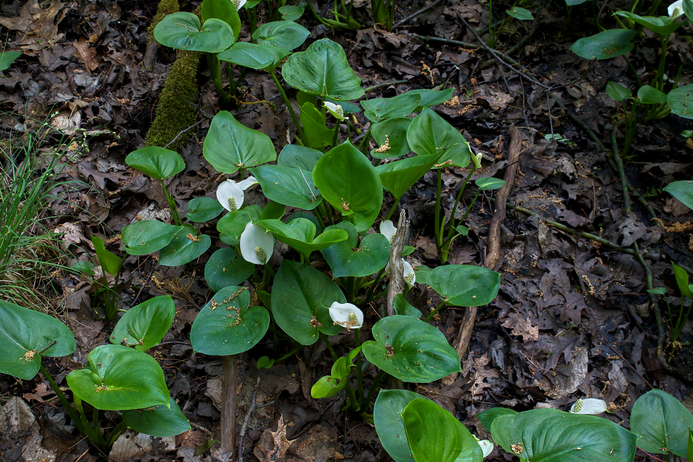 Garden in the Woods, Wild Calla, by Justine Hand for Gardenista