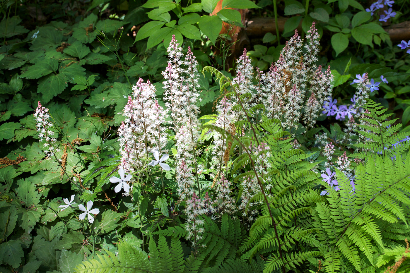 Garden in the Woods, foam flower, phlox and ferns, by Justine Hand for Gardenista