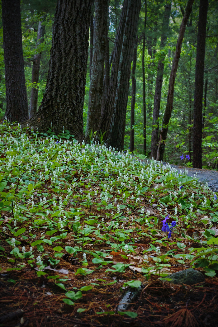 Garden in the Woods, white flower path, by Justine Hand for Gardenista